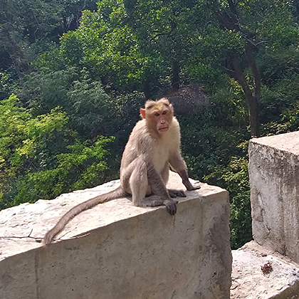 Curious Indian monkey.